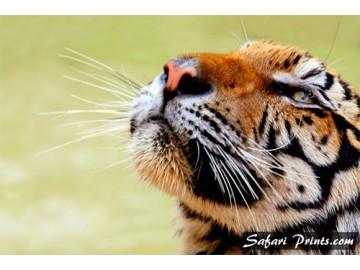 Bengal Tiger Gaze