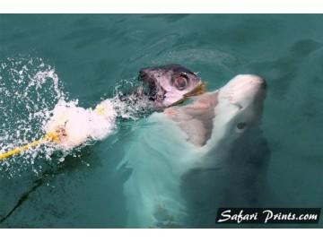 Gansbaai Shark Pre-Breach