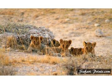 Etosha Lion Cub Quintet
