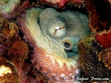 Common Octopus in Hiding