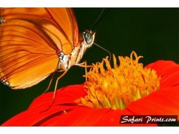 Bolivian Butterfly Proboscis