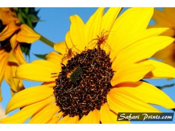 Colca Canyon Sunflower