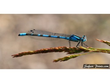 Isolated Bluet Damselfly
