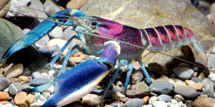 The Newest Crayfish Species Looks Like A Lisa Frank Creation